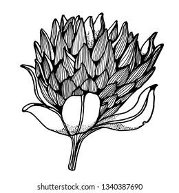 tropical flower hand drawing vector isolated on white background