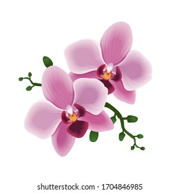 Tropical flower. Phalaenopsis plant. Pink Orchid. Exotic floral vector illustration. Blooming of Orchid and buds. Isolated of white background
