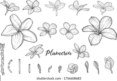 Tropical flowers hand drawn sketches set. Blooming orchids, exotic Frangipani plant black ink illustrations. Outline Hibiscus, Strelitzia, Plumeria blossom. Monochrome floral postcard design elements