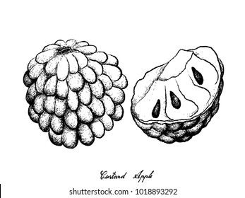 Tropical Fruit, Illustration Hand Drawn Sketch of Custard Apple and Annona Reticulata Fruit Isolated on White Background.