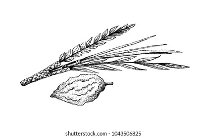 Tropical Fruit, Illustration Hand Drawn Sketch of The Four Species or Lulav, Hadass, Aravah and Etrog Fruit Isolated on White Background, Symbols of The Jewish Festival of Sukkot.