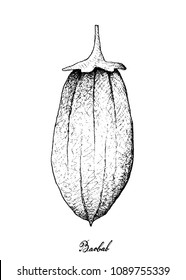 Tropical Fruit, Illustration of Hand Drawn Sketch Baobab or Adansonia Fruits Isolated on White Background. A Rich Source of Vitamin C and Soluble Fibre with Essential Nutrient for Life.