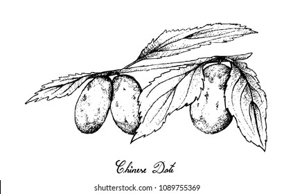 Tropical Fruit, Illustration of Hand Drawn Sketch Chinese Date, Jujube or Ziziphus Jujuba Fruits Isolated on White Background. High in Vitamin C with Essential Nutrient for Life.