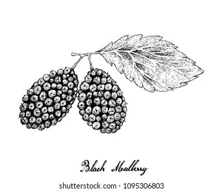 Tropical Fruits,  Fresh Sweet Black Mulberries Hanging on Tree Branch