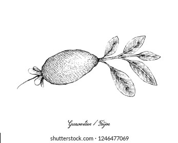 Tropical Fruits, Illustration of Hand Drawn Sketch Guavasteen, Feijoa or Acca Sellowiana Fruit Isolated on White Background.