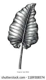 Tropical leaf hand draw vintage engraving clip art isolated on white background