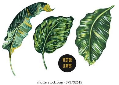 Tropical leaves, banana leaf set isolated on white background. Jungle botanical vector illustrations, floral elements