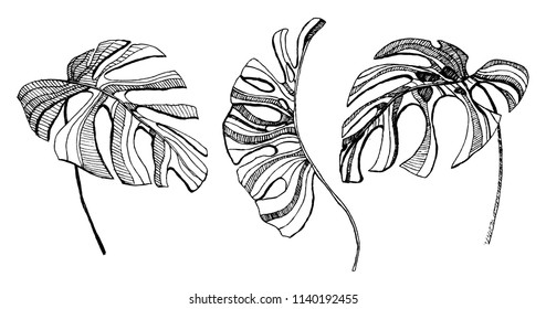 tropical leaves illustration. set of vector monstera leaves.