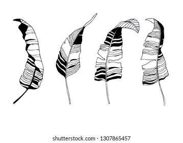 Tropical leaves silhouette illustration. Vector botanical drawing. Set of vector banana leaves. Hand drawn leaf skeleton.
