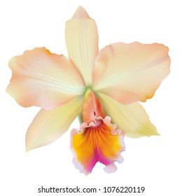 Tropical Orchid - Brassolaeliocattleya. Hand drawn vector illustration of a Cattleya type  hybrid orchid with peach colored petals on transparent background.