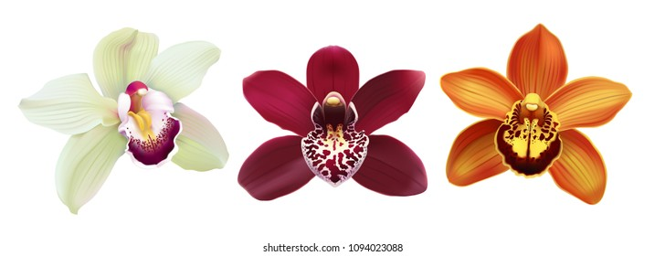 Tropical Orchid Cymbidium flowers. Hand drawn realistic vector illustration on white background.