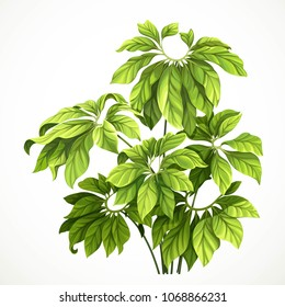 Tropical plant with large leaves object isolated on white background