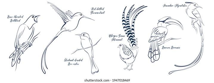 Tropical stylised birds lineart sketch set. Whooper swans pheasant, buceros bicornis great hornbill, asian paradise flycatcher Red billed Streamertail Chestnut-headed bee-eater bare throated bellbird