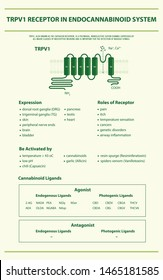 TRPV1 Receptor in Endocannabinoid System vertical infographic illustration about cannabis, healthcare medical and science vector.
