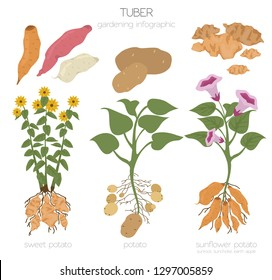 Tuber vegetables potato, sunflower and sweet potato graphic template. Gardening, farming infographic, how it grows. Flat style design. Vector illustration