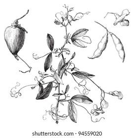 Tuberous Pea (Lathyrus tuberosus) / vintage illustration from Meyers Konversations-Lexikon 1897