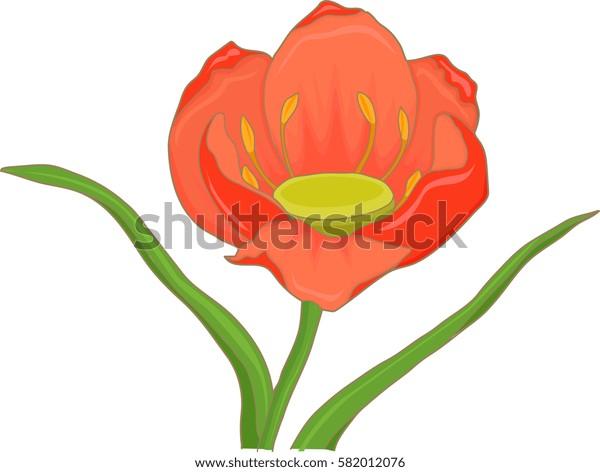 tulip blooming