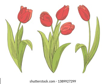 Tulip flower graphic color isolated sketch illustration vector