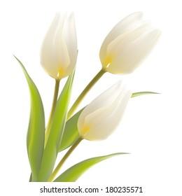 Tulip flower isolated over white. Vector illustration.