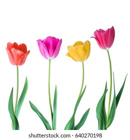 Tulips. Color vector tulips isolated on white background. Flowers in different shapes for your design and greetings, postcards card for your loved ones.