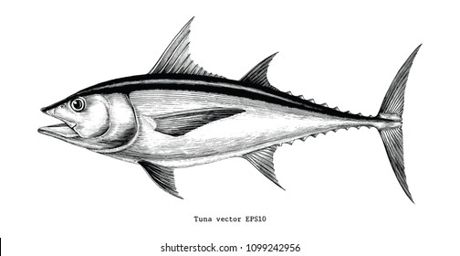 Tuna fish hand drawing vintage engraving illustration