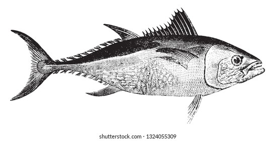 Tuna, vintage engraved illustration.