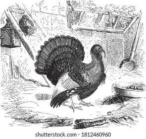 Turkey (bird), From the Dictionary of Word and Things, 1888.