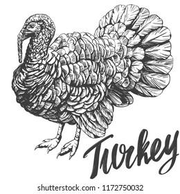 turkey domestic fowl hand drawn vector illustration realistic sketch