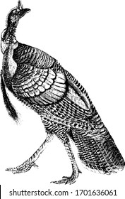 Turkey is a large bird in the genus Meleagris, vintage line drawing or engraving illustration.