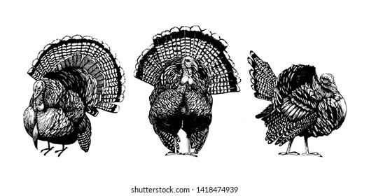 Turkey vector, Farm animal drawing, Black and white turkey.