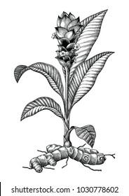 Turmeric botanical hand drawing engraving vintage illustration