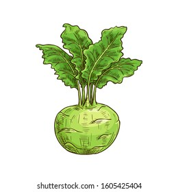 Turnip-shaped green cabbage kohlrabi with green leaves isolated sketch. Vector raw root, vegetable food
