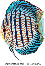 Turquoise discus fish vector on white background