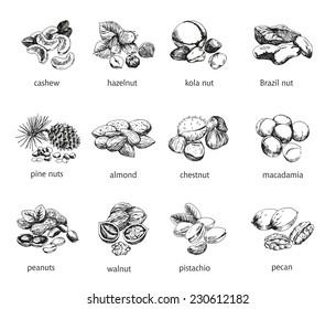 twelve kinds of nuts. vector sketches. handmade
