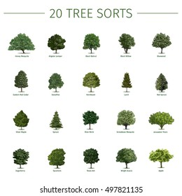 Twenty different tree sorts with names. Vector illustrations of tree types and specimens. Ash, fir, oak, walnut, chestnut, cherry, apple tree, maple, pine, larch, birch, spruce, aspen, cedar & other.