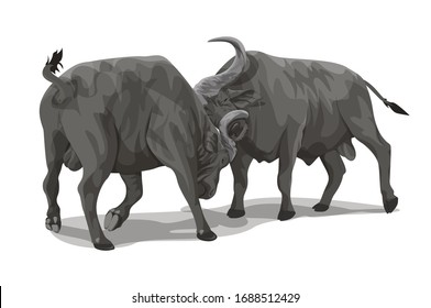 Two African Buffalo fighting each other.