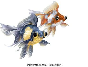 Two aquarium fish - demekiny, black-and-gold and white-orange  [Cyprinidae, carassius auratus]