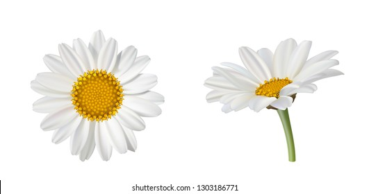 Two beautiful daisy flowers, side view and top view isolated on white background. Vector