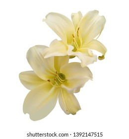 Two beautiful yellow lilies on white background. Photo-realistic gradient mesh vector illustration.