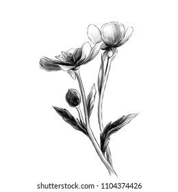 two Buttercup flowers with stems and leaves on white background, sketch vector graphics monochrome illustration