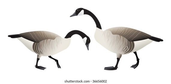 Two Canada geese - male and female.