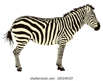 Two color vector illustration of zebra profile isolated on white background.