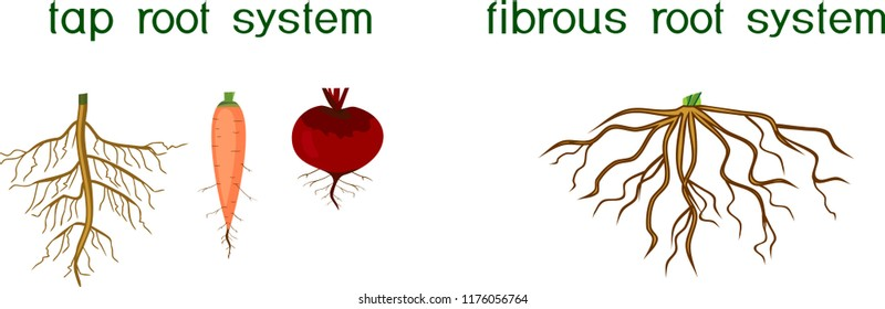 Two different types of root systems: tap and fibrous root systems