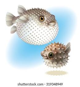 Two Fish Blowfish  [Tetraodontidae]