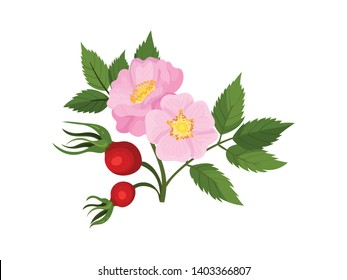 Two flowers of wild rose with fruits on a white background. Vector illustration.
