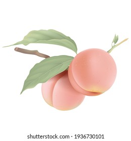 Two fresh peaches on branch with leaves