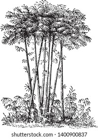 """The two general patterns for the growth of bamboo are """"clumping"""" and """"running"""". Bamboos are evergreen plants in the true grass family Poaceae and occur from Northeast Asia, vintage line drawing"""