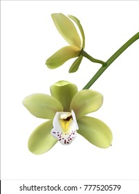Two Green orchid flower on white background.