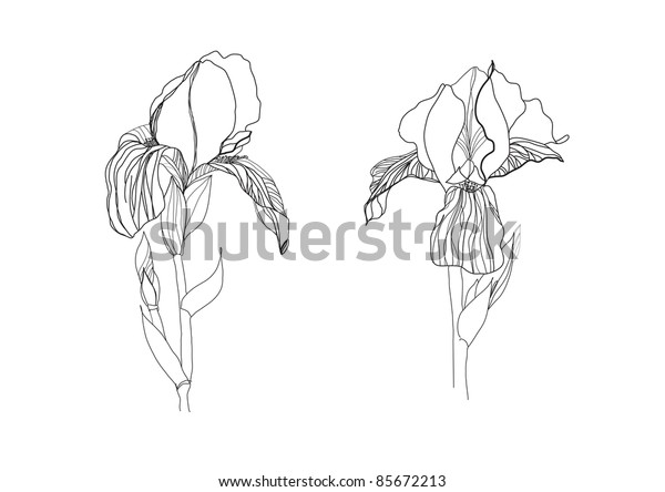 Two iris flowers drawing on white background