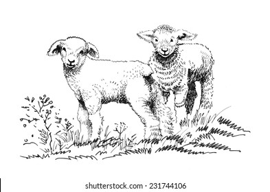 Two lambs on the field sketch vector illustration